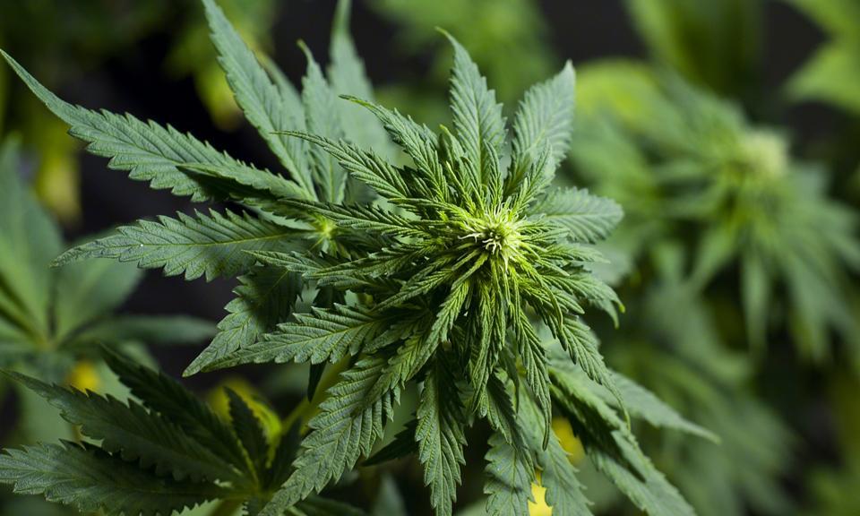 Marijuana Overdoses Kill 46 In Oregon During First Week Of