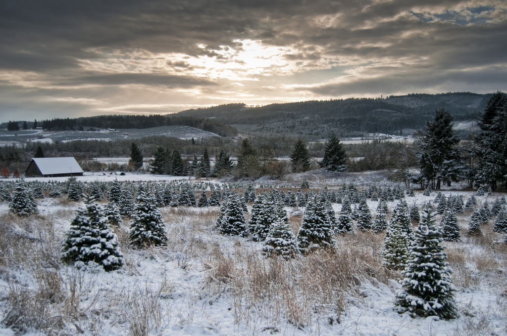 Beautiful Christmas tree farm rural country scene with snow in the winter time and a sun coming through the clouds.