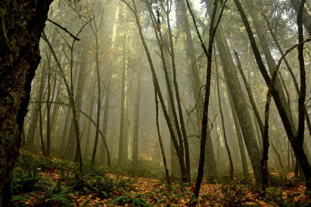 forest_fog_oregon