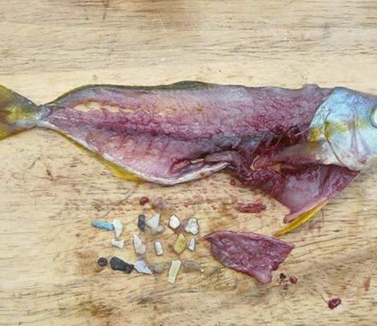 Plastic in Fish - Solve Oregon Plastic Problem