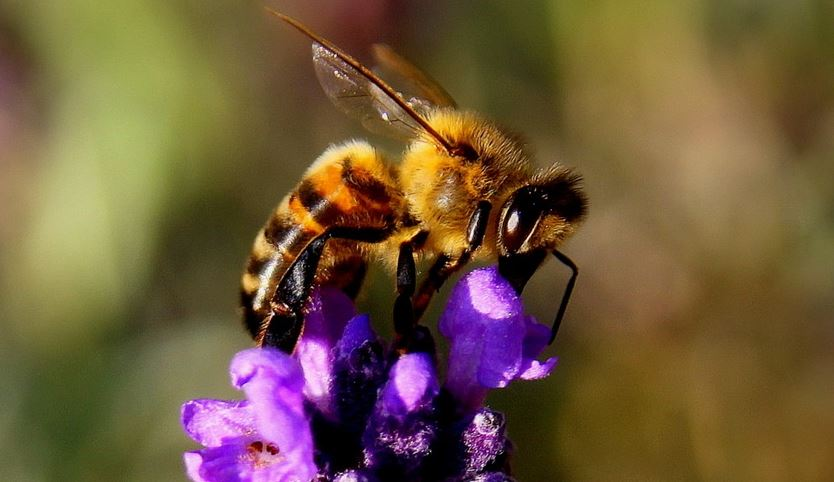 Saving Oregon Honey Bees