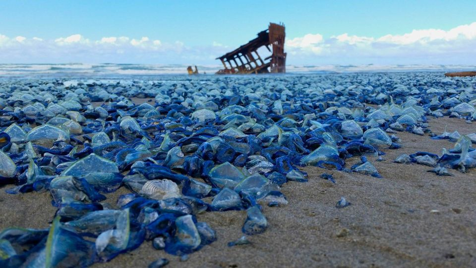 Strange blue jellyfish like creatures wash ashore the for Seaside oregon fishing