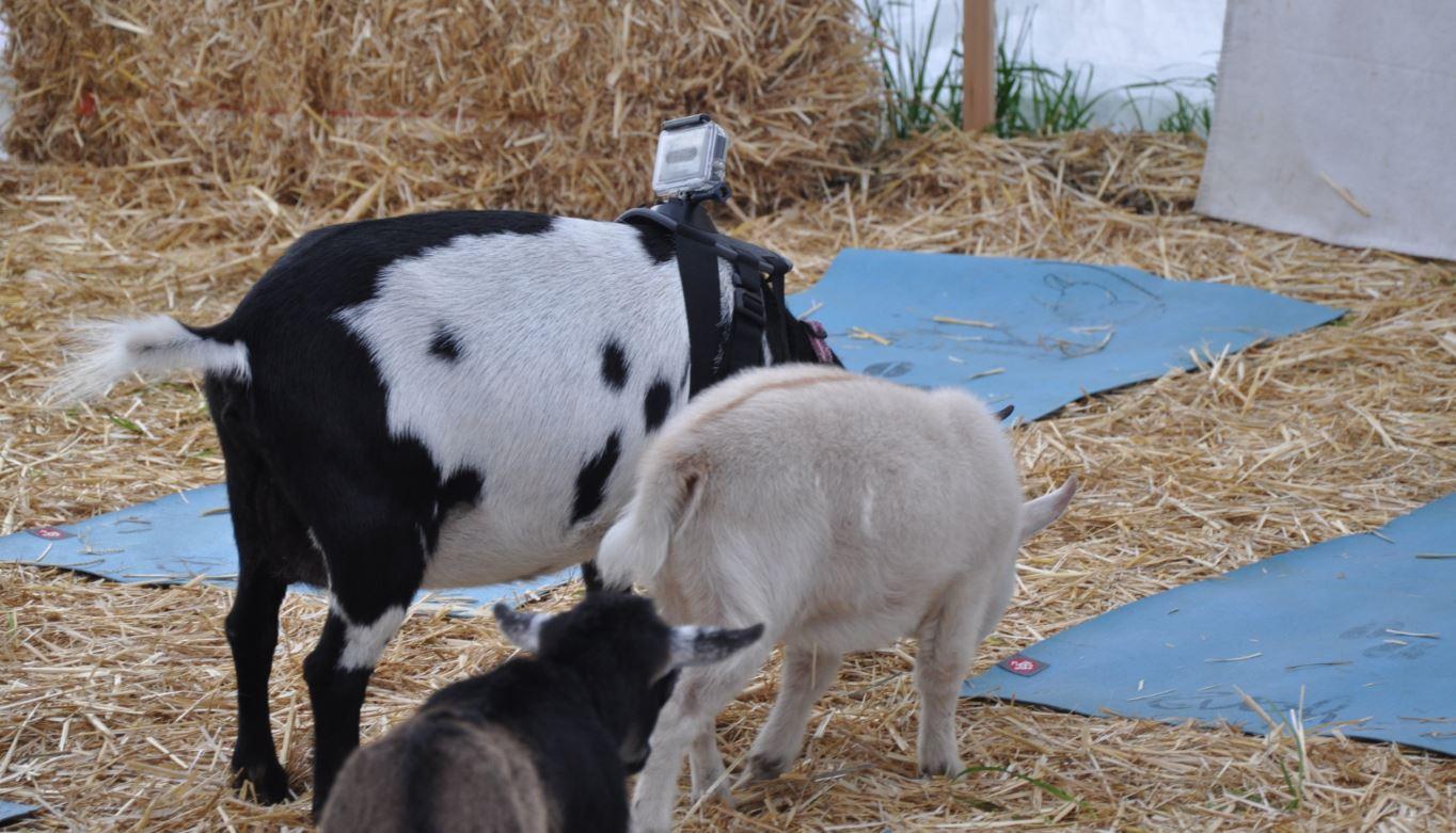 GoPro Goat Cam - Goat Yoga
