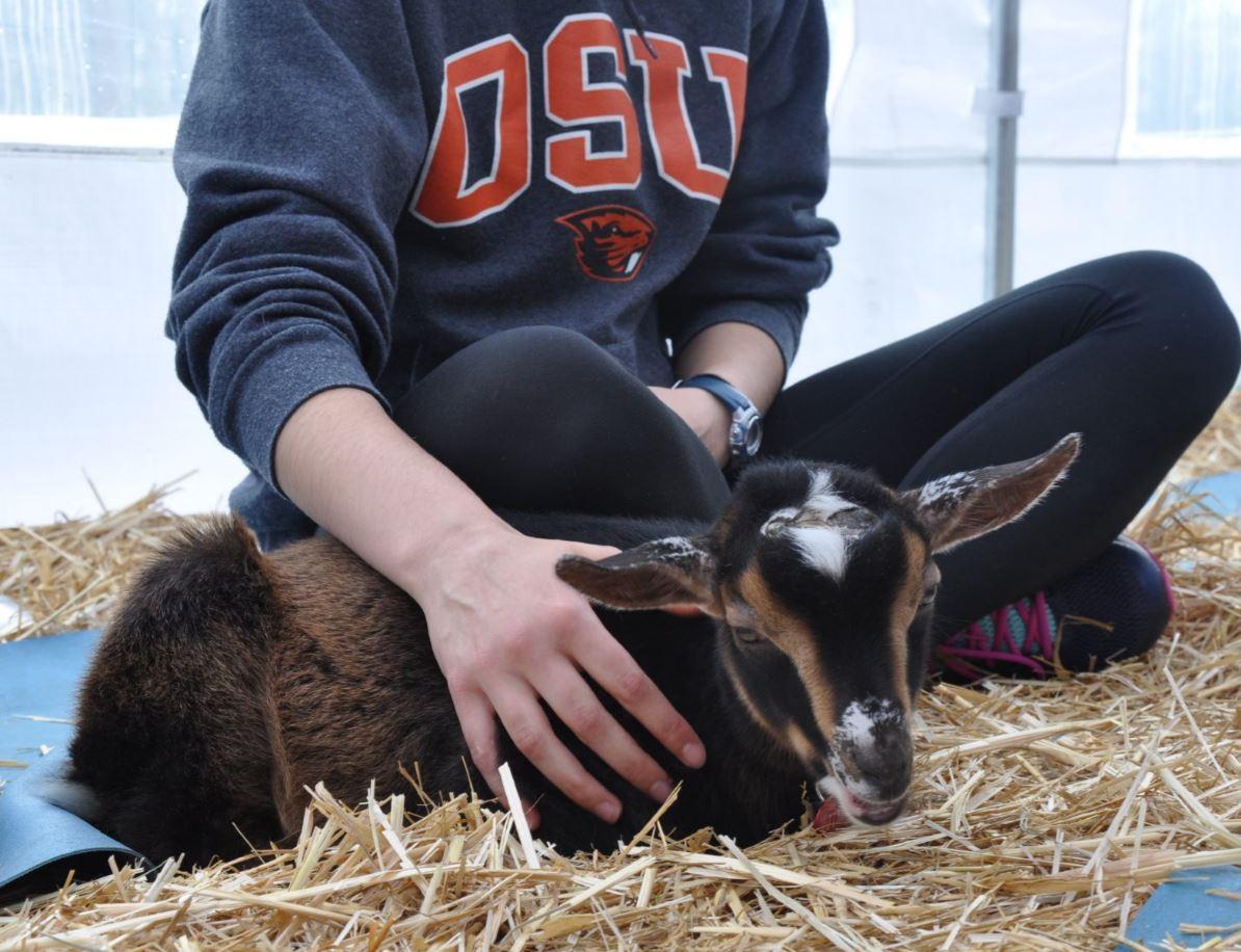 Goat Yoga Class in Oregon