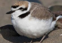 Oregon Snowy Plover Chick