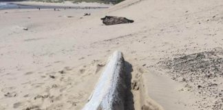 Possible Ship Debris Discovered On Oregon Coast - Courtesy of Cannon Beach History Center and Museum