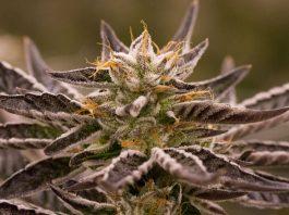 Cannabis Fair Oregon