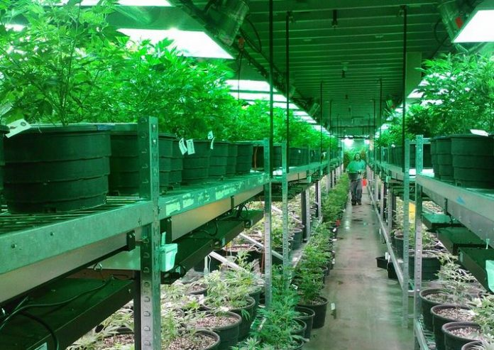 Cannabis Industry Growth Oregon
