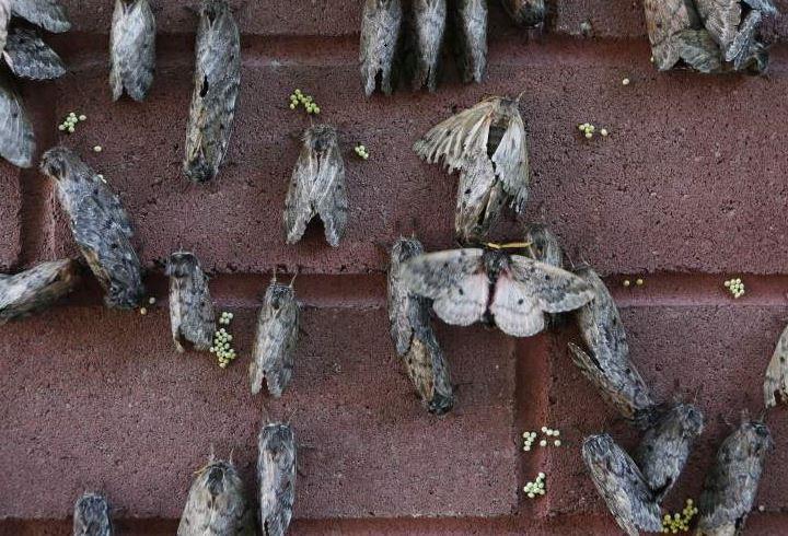Pandora Moth Hazard