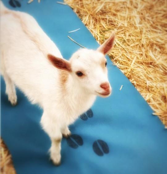 Cutest Goats in Oregon