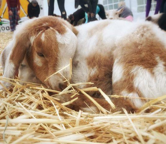 Original Goat Yoga Birthday