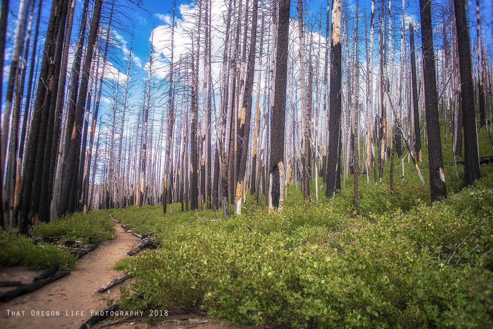 An eerie burnt forest along the trail to Chush Falls.