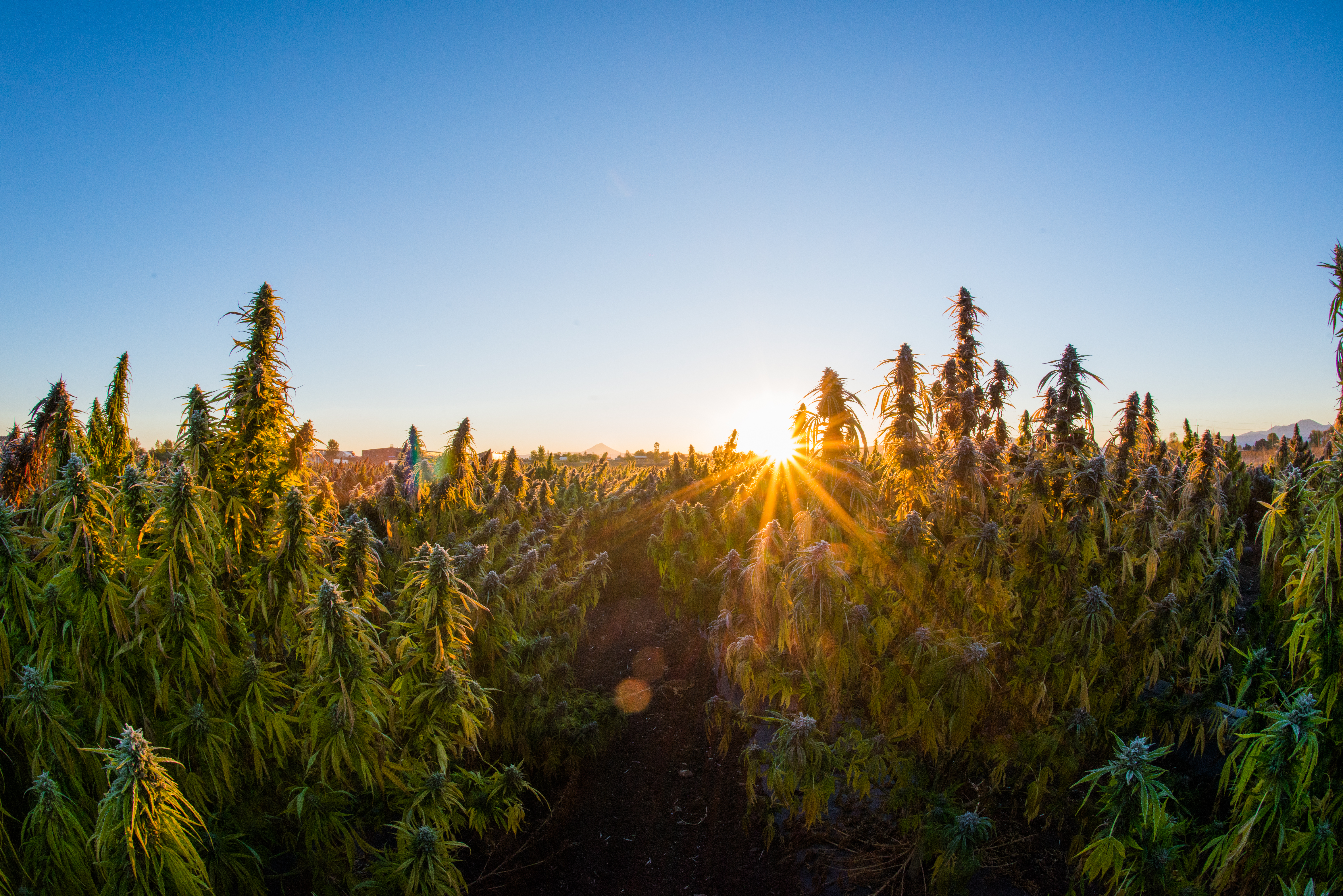 Some Of The Highest Quality Hemp On Earth Is Being Grown In