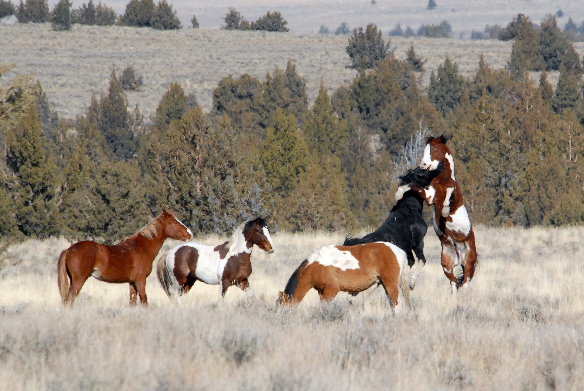 These Beautiful Wild Horses Were Unknown Until Discovered In Oregon In 1977 That Oregon Life