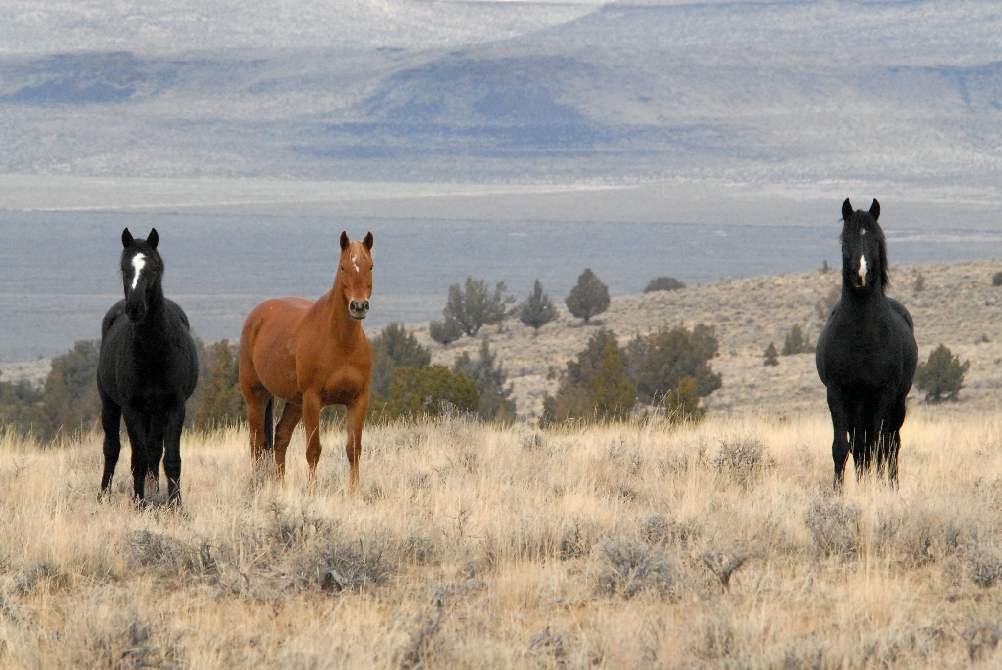 Kiger Mustangs Old Spanish Horses Conquistadors