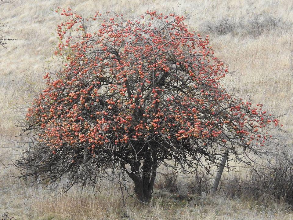 Lost Apple Varieties US