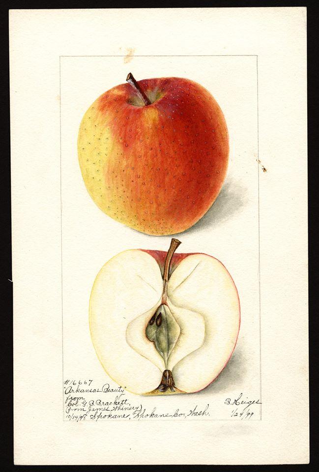 forgotten Apple varieties