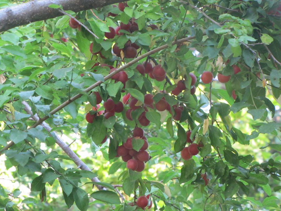 pioneer apple varieties