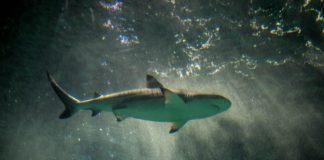 A shark in dark water