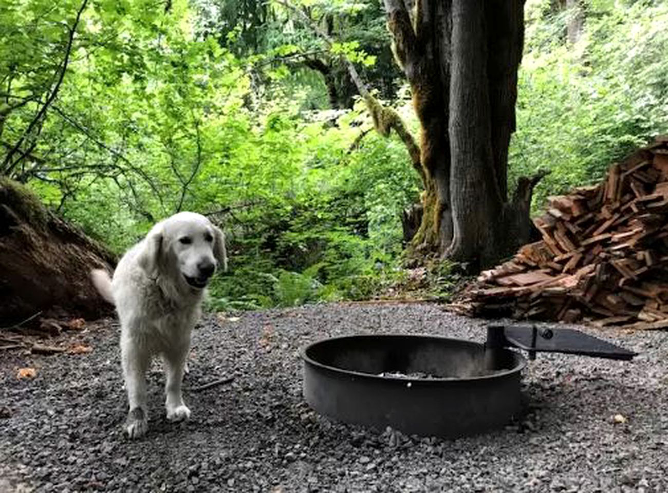 A white dog stands next to the metal outdoor fire pit