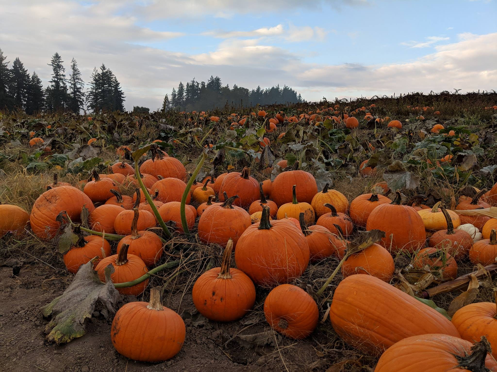 A pumpkin patch in Sherwood Oregon at Red Berry Barn