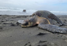 an olive ridley sea turtle found washed up on the oregon coast near peter iredale shipwreck